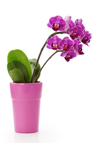 pianta-di-orchidea-rosa